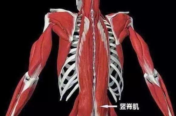 竖脊肌_久坐腰背酸痛处理,这3块肌肉最容易忽视!