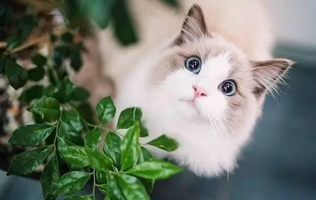 说布偶猫又乖又仙的,我真是傻了才相信你的话