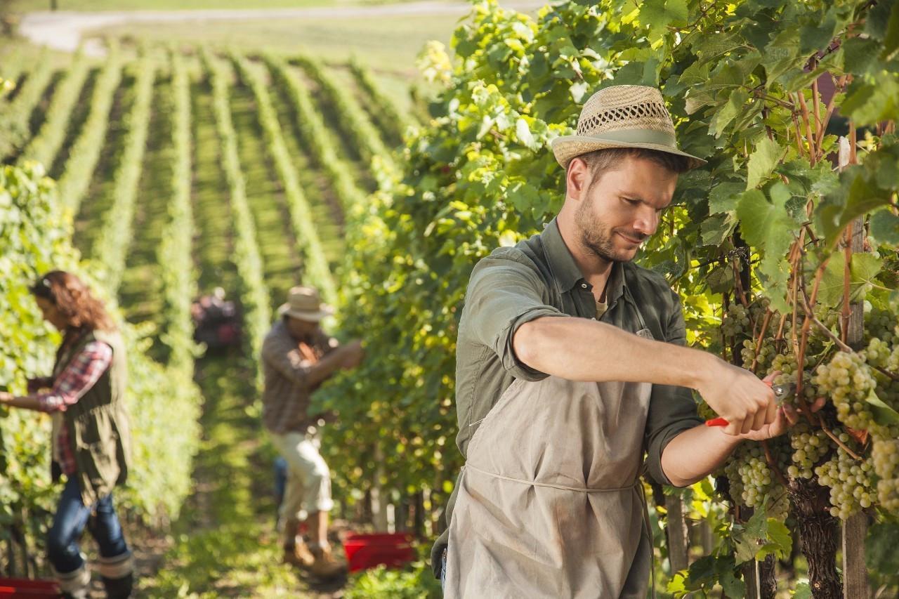 遭遇最惨减产年,你的葡萄酒要涨价?