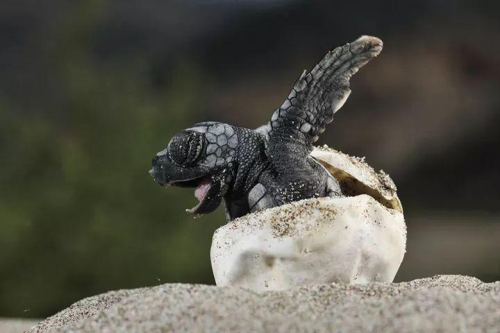 大�y�9�%9�._参观可爱的海龟, 全世界一共有7种大海龟 (棱皮龟,蠵龟,玳瑁