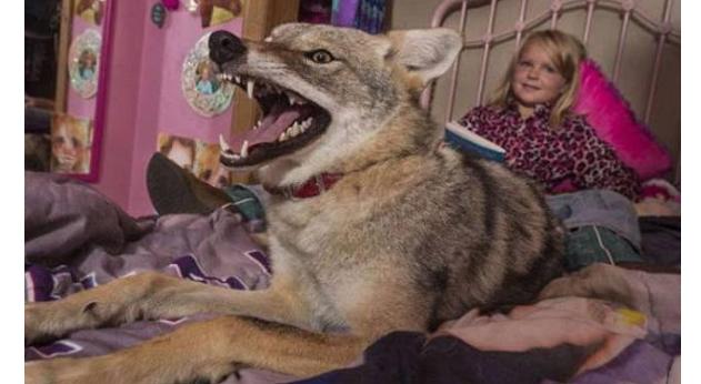 狗在长期的驯化下已经是杂食动物,光吃狗粮并不影响狗的生存发育,而狼