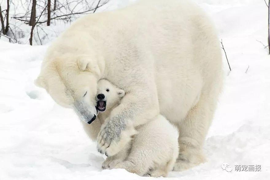 芬兰拉努阿野生动物园,一对北极熊雪地兄弟嬉闹蝙蝠母子动物第几集图片