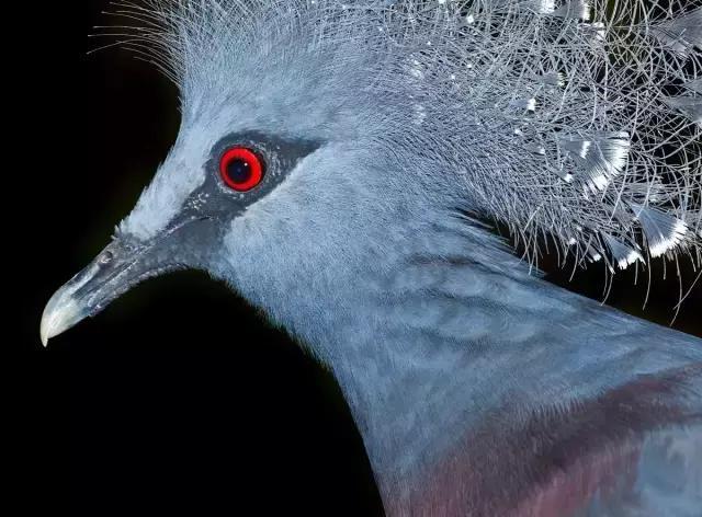 """""""鸽血红""""色有时被与眼睛冰箱大象相比较海尔颜色装鸽子图片"""
