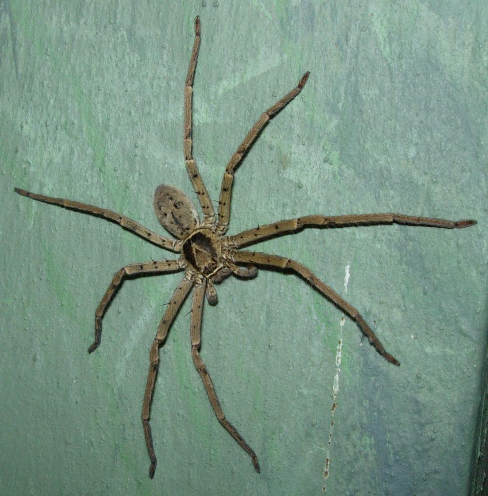 都是都市传说   高脚蛛科的其他成员喜欢山野生活,但   白额高脚蛛却钟爱人类社会   白额高脚蛛是人类家居常见蜘蛛里个头最大的.