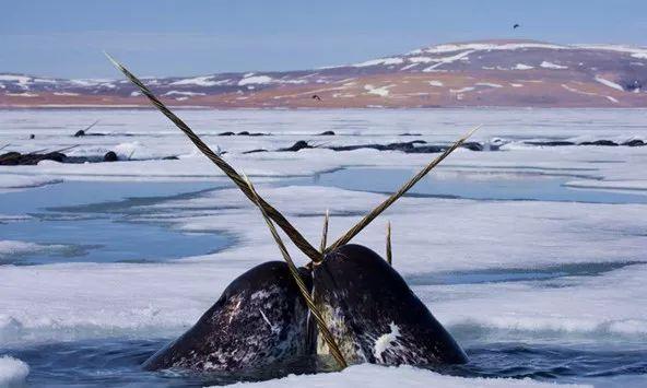 独角巨鲸_世上没有独角兽,但独角鲸真实存在