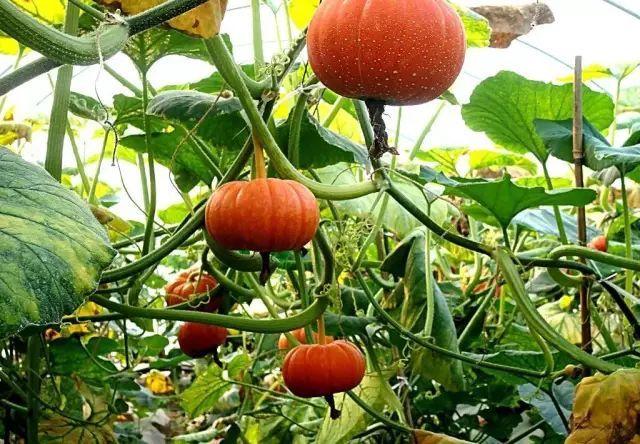 秋天这个时候的南瓜正是营养最好的时候,目前,采摘园里可自行选购的