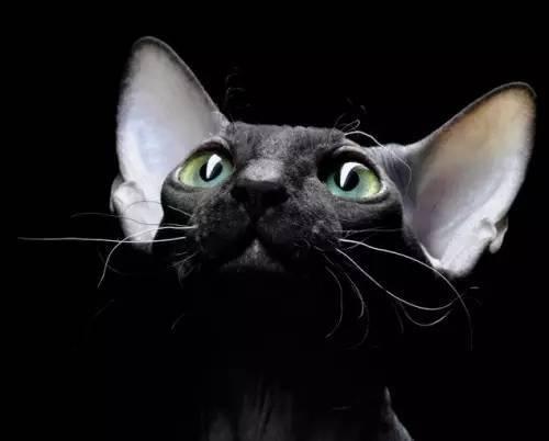 萌宠斯芬克斯猫和他们滴纹身猫奴
