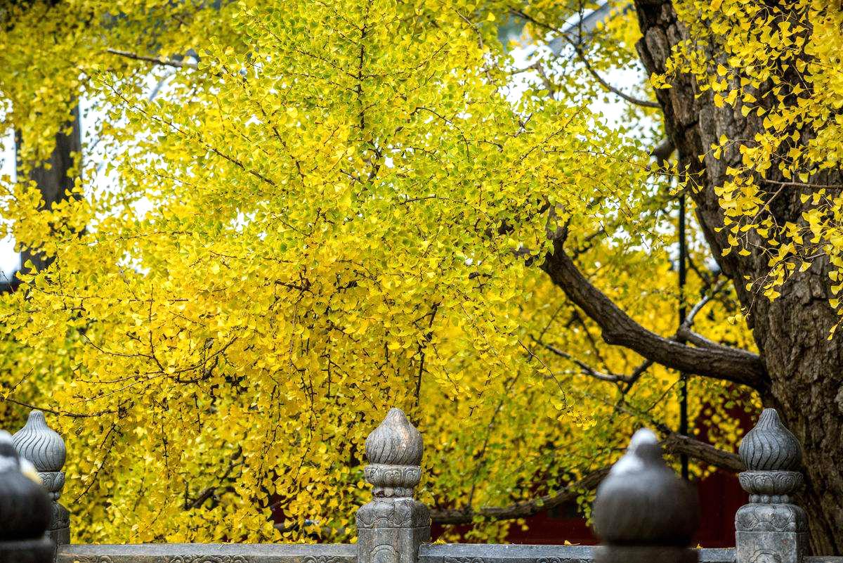 北京银杏树_北京9大银杏观赏地,留住这个最美的秋天