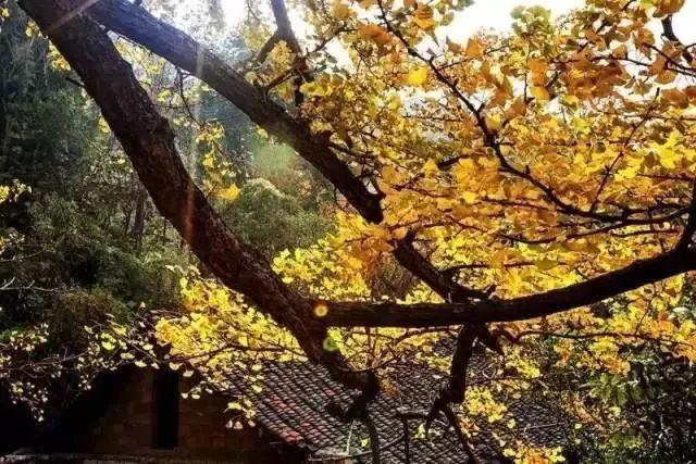 【百色,靖西出发】b线:兴义马岭河峡谷,万峰林,安龙花海,妥乐古银杏村