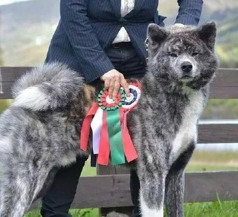 秋田犬和柴犬的区别