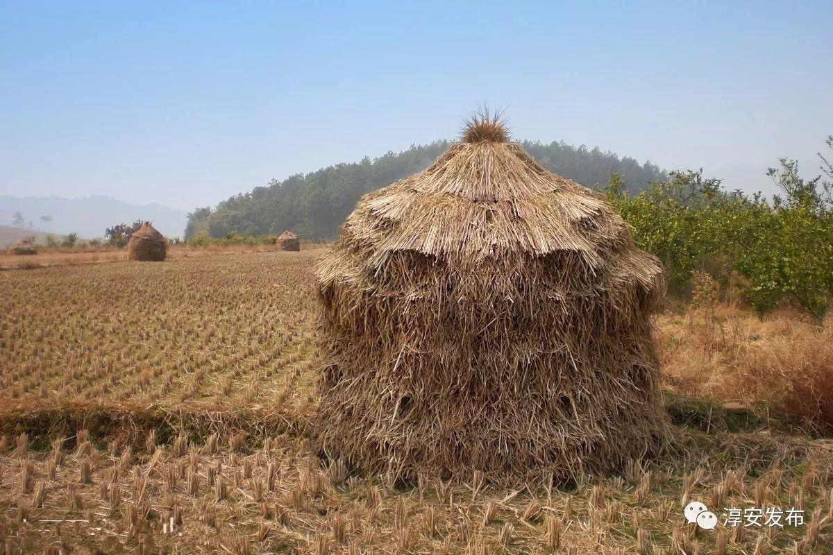 农村大奶草垛性爱_有的在玩捉迷藏,有的在玩打战,还有的就靠在稻草垛上说着悄悄话.