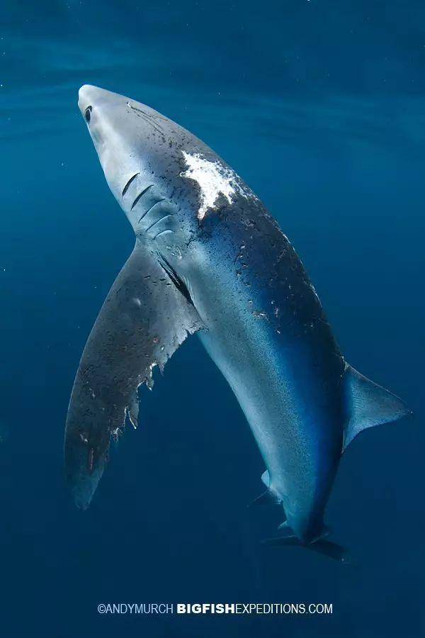 一篇正经的科普文 |sex in the sea 鲨鱼的爱与性 (ˉ