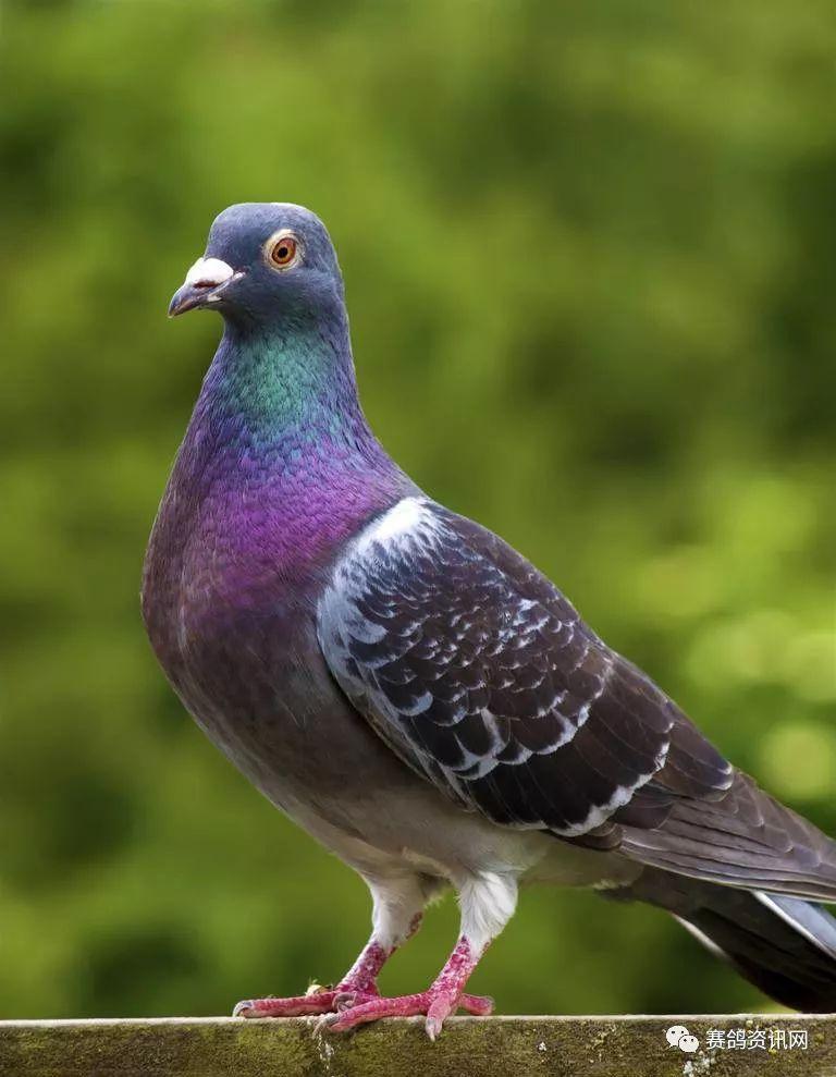 家常鸽做法鸟动物768_989竖版竖屏意大利蝴蝶面鸟类鸽子图片