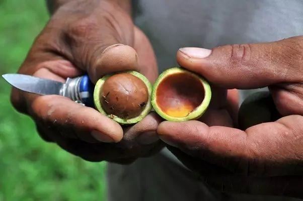 在肯尼亚全国,有将近90万棵夏威夷果树.
