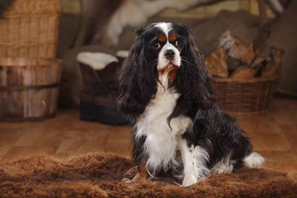 查理士王小猎犬用乞求的眼睛看着铲屎官,只想要口吃的咋就这么难