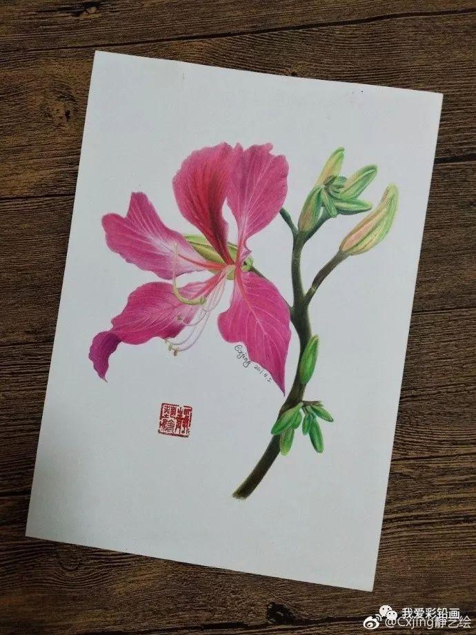 彩铅手绘—紫荆花