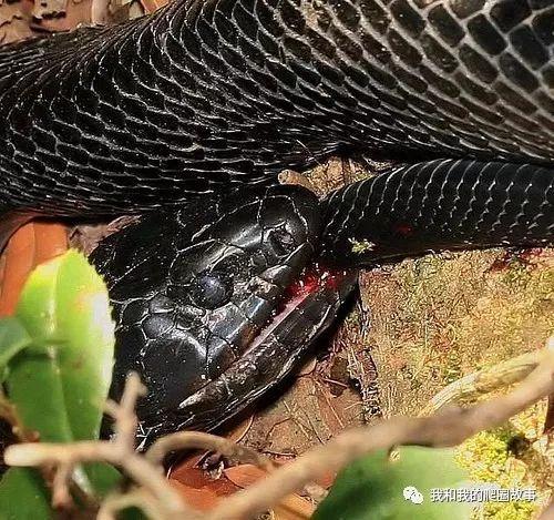森林王蛇_美洲大水律-----你可能误解的森林王蛇