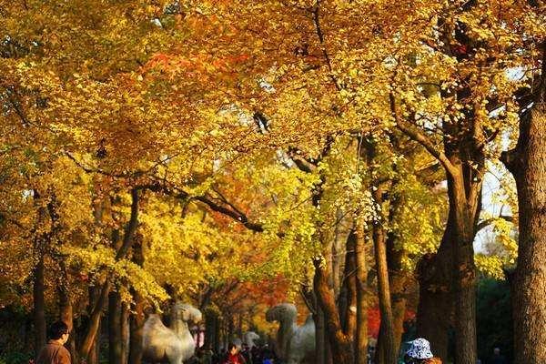 黄了!黄了!每年秋天,这里就成了南京城最美的600米