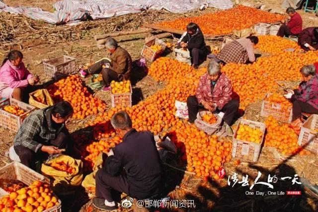 """""""黄色""""刘家庄 让涉县走遍全国的柿饼之乡图片"""