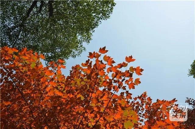 """枫叶红了,深秋时节去湖南这些地方赏""""醉""""美风景!"""