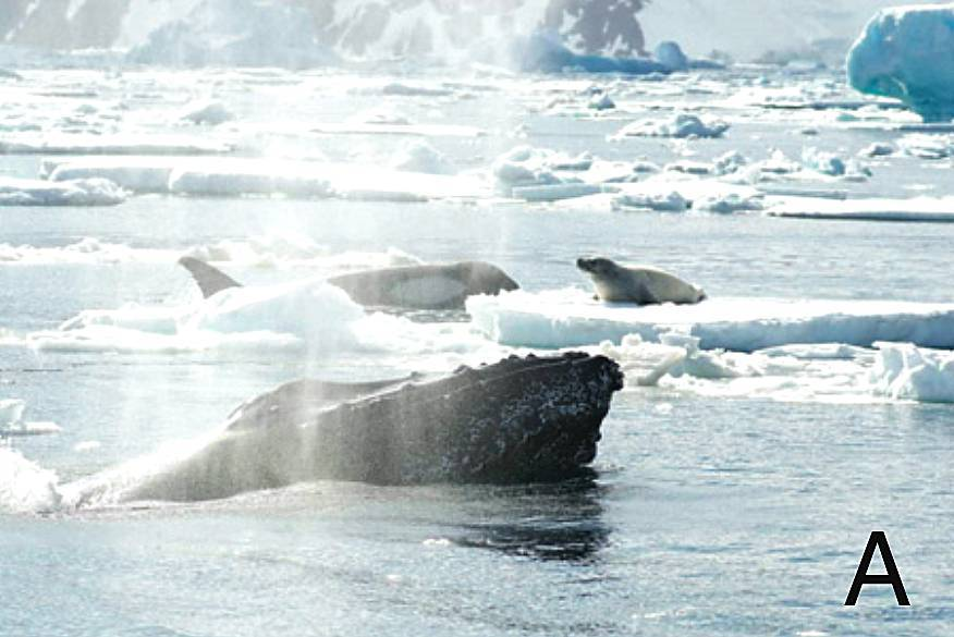 座头鲸,你为什么要和虎鲸对着干
