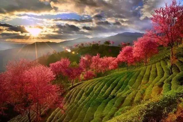 冬天最美的樱花花海,在这个11月美到炸裂,而且还免费!