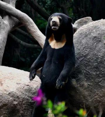 """动物世界 而马来熊,胸口也有一块""""特别印迹"""" 仔细看,是不是u型黄色的"""