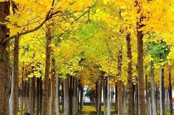 银杏黄了,兰州这个地方美成仙境,赶紧去拍照图片