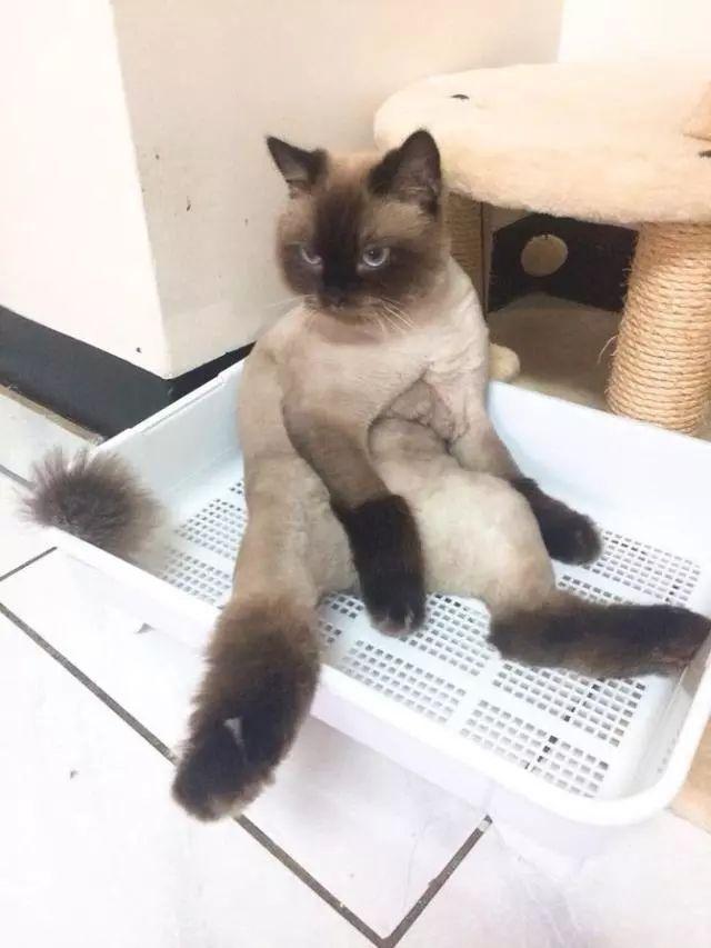 开始他也会担心猫咪是不是剃完毛之后变得很难受啊,或者很伤心之类的.图片