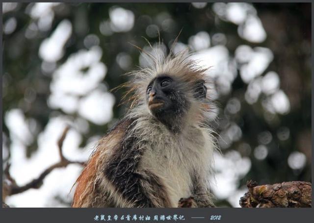 全球独一无二的红疣猴,总共才2500只,  其中一半都在这座公园里