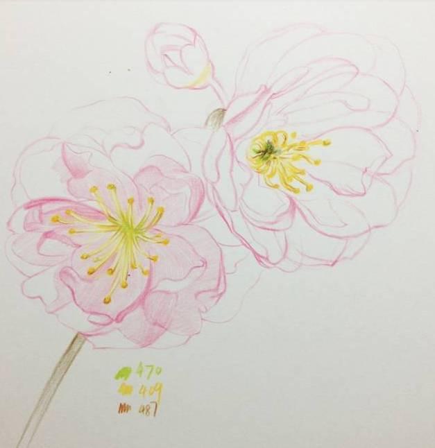 干货丨如何用彩铅绘制 樱花