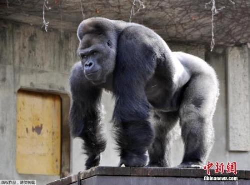 """日本一动物园举行总选举_""""最帅大猩猩""""夺冠"""