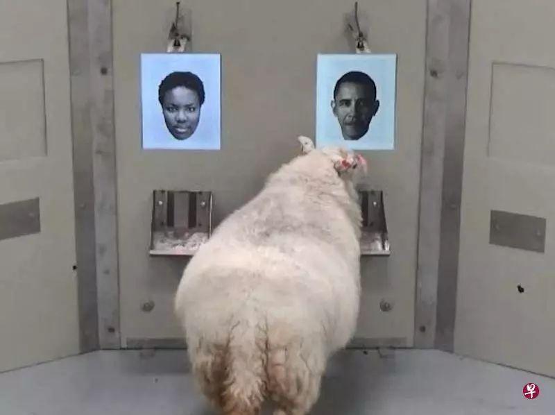 绵羊也能记住人脸!不但能分清奥巴马,还能记住主人