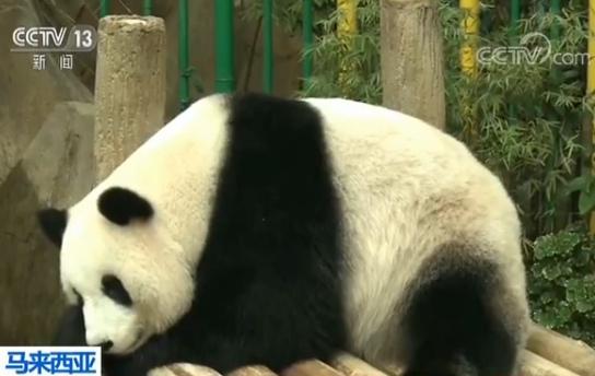 """马来西亚 大熊猫""""暖暖""""启程返回中国"""