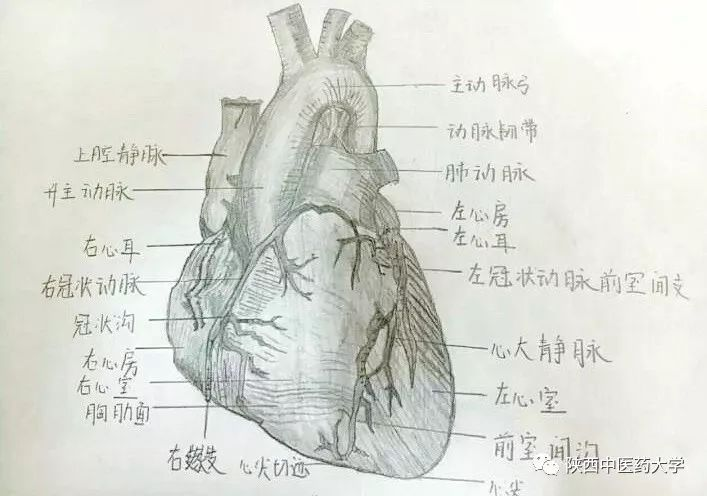 人体艺术32p_医学人体解剖手绘:科学与艺术的交织