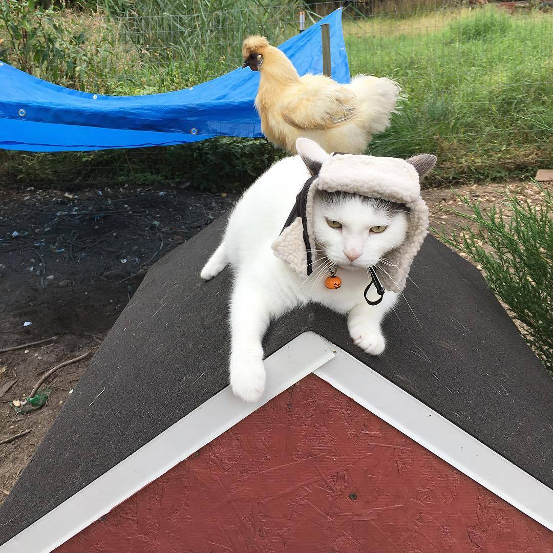 国外有只猫,每天都会露出自己的JJ给一群鸡看