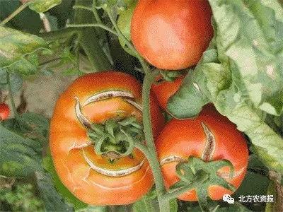 番茄裂果原因,如何预防