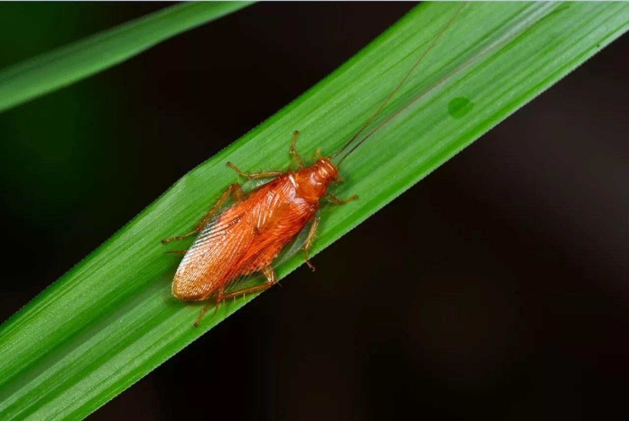 无头照活,还能雌雄同体,蟑螂的生命力有多强大?