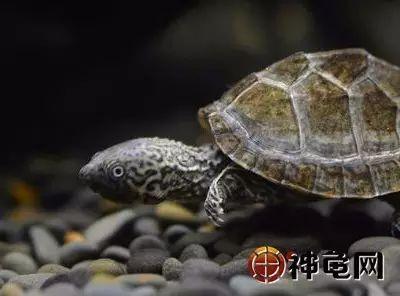 7,麝香龟+壁纸龟=刀香.争宠,虎纹青蛙龟不如我!pepe麝香剃刀图片