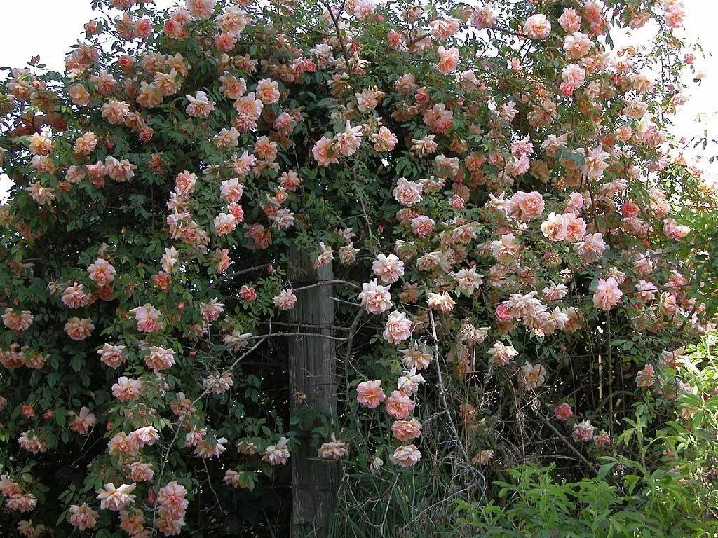 月季花嫁接在木香花上,没想到木香花比玫瑰还好美
