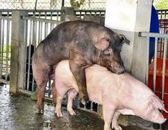 母猪发情但是不让配种怎么办?图片