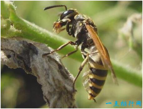 世界上最危险的蜜蜂,非洲杀人蜂已经螫死了1000多人
