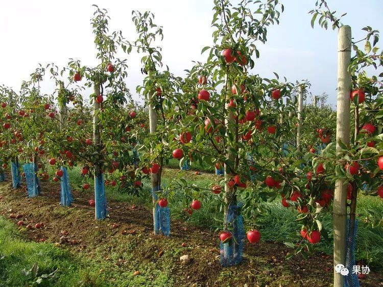 对苹果树进行冬剪,首先要学习和了解苹果树的树形 苹果常见树形的优
