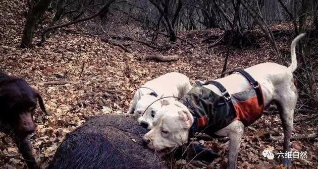 杜高犬,只为驱赶美洲狮和野猪而生
