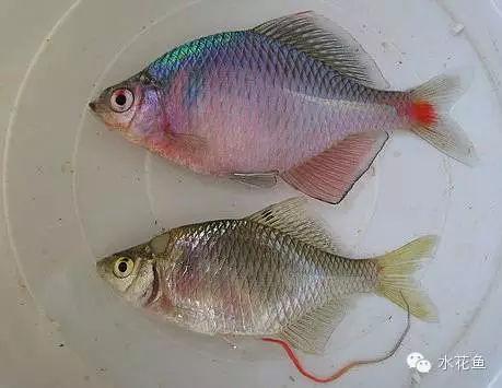 传宗接代还需要别的动物帮忙的鳑鲏鱼