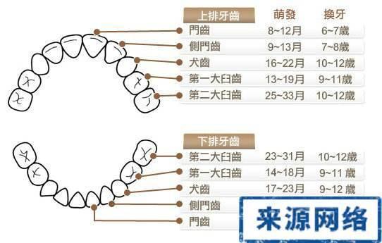 28颗牙齿排列图