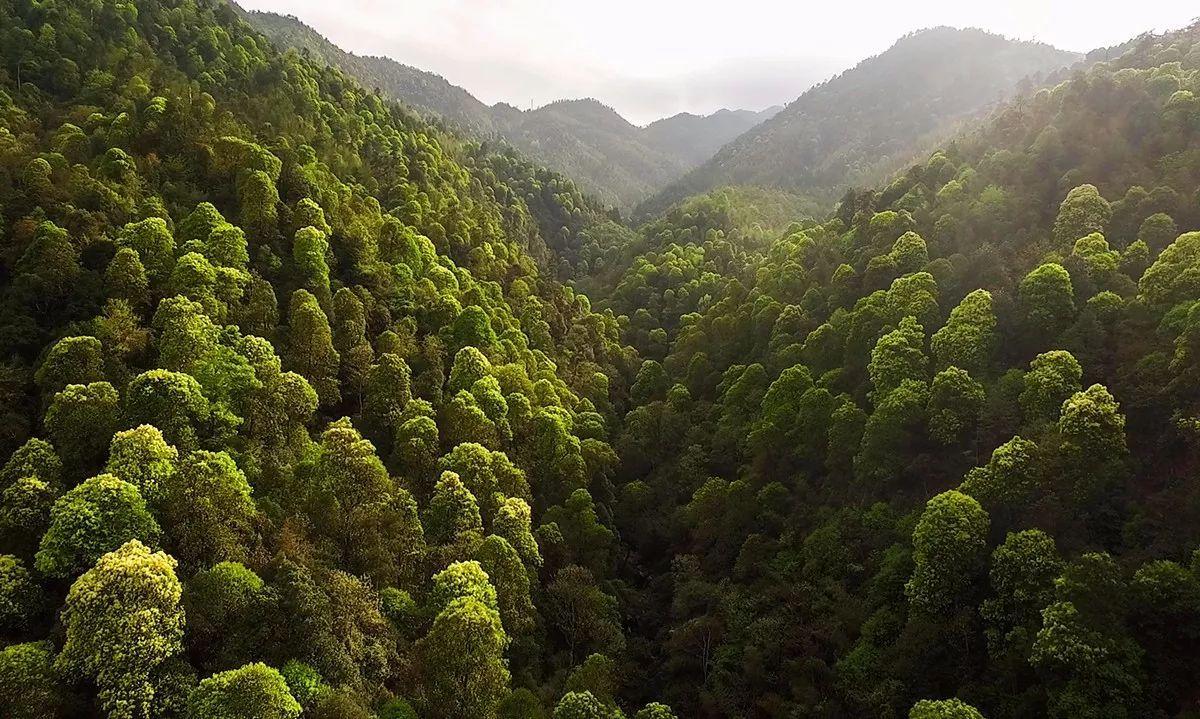 大汾上坳亚热带天然阔叶林春色图片
