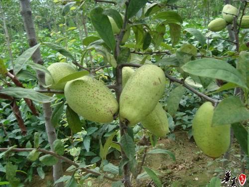 安康特产酸木瓜,农家治疗风湿全靠它