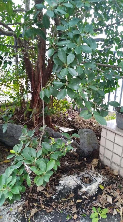 ##:楼顶住户种榕树 根须疯长阻塞下水道