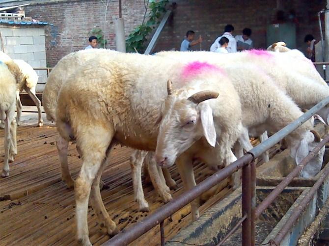 母羊产羔房设计图